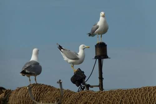 Gulls Networks Mallorca Port Andratx Porto Sea