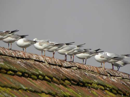 Gulls Roof Birds Sit Series Tile Housetop