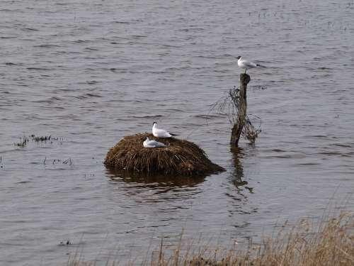 Gulls Bird'S Nest Moevennest Wetlands Water Bird