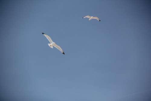 Gulls Birds Coast Sky Animals Freedom Flying