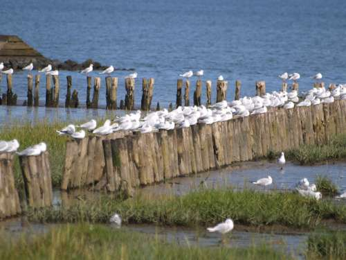 Gulls Wadden Sea Tides North Sea East Frisia Coast