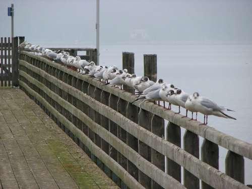 Gulls Fence Ammersee Web Boardwalk Birds Trueb