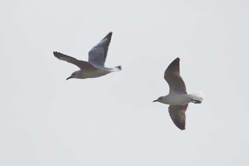 Gulls Flying Sky