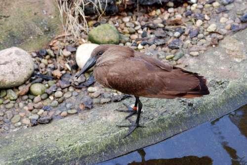 Hamerkop Scopus Umbretta Hammerhead Stork Wader