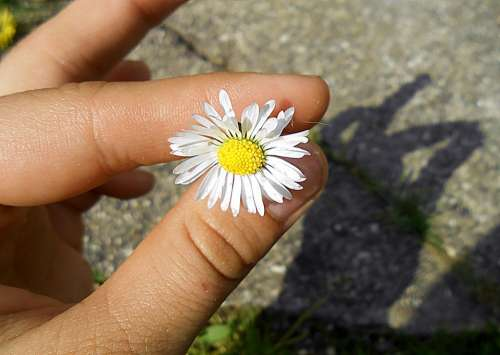 Hand Shadow Daisy Gift Green White Yellow Bright