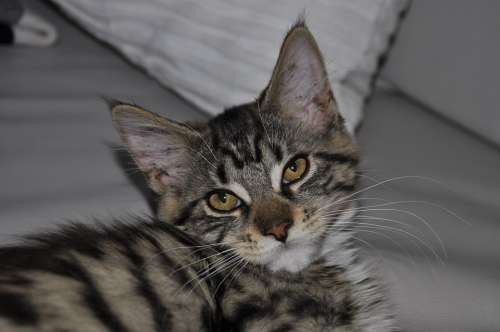Cat Mainecoon