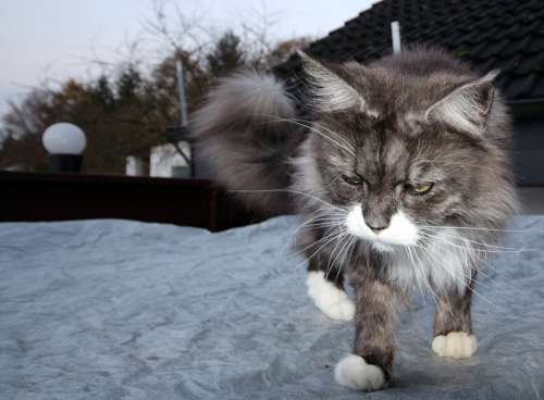Cat Main Coon Animals Maine Coon Cool Kidden