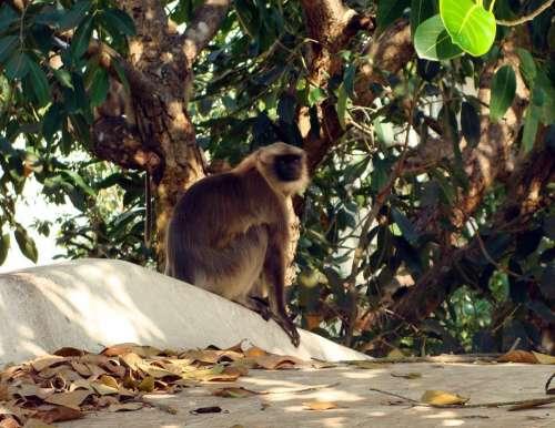 Hanuman Langur Monkey Jamun Tree Syzigium Cumini