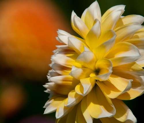 Happier Dahlia Dahlia Yellow Garden Flowers