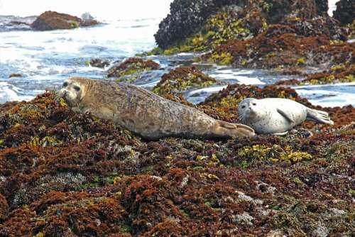 Harbor Harbor Seals Seal Seals Coast Water Sea