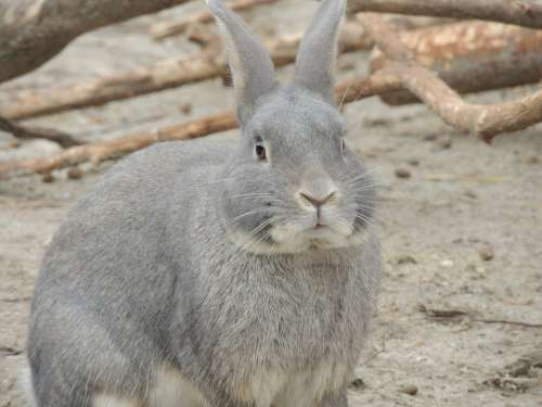 Hare Gray Hare Animal Easter