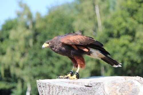 Harris Hawk Buzzard Raptor Bird'S Eye View
