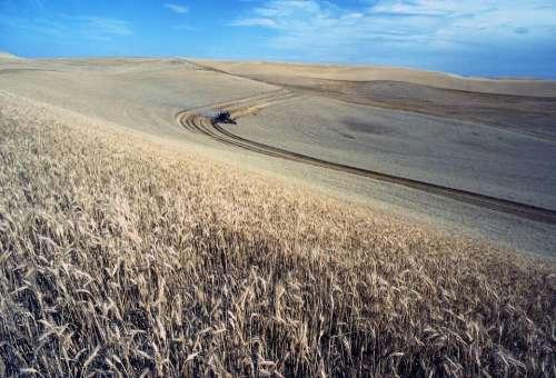 Harvest Wheat Field Landscapes Nature