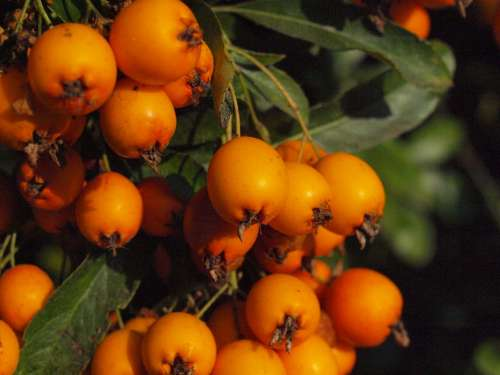 Haw Fruit Fruits Berries Sorbus Orange