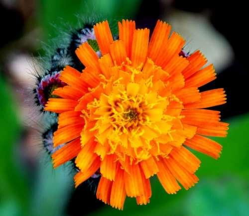 Hawkweed Composites Red Orange Hawkweed Blossom