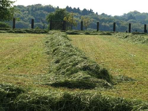 Hay Rows Together Meet Grass Mowed Luftrocknung