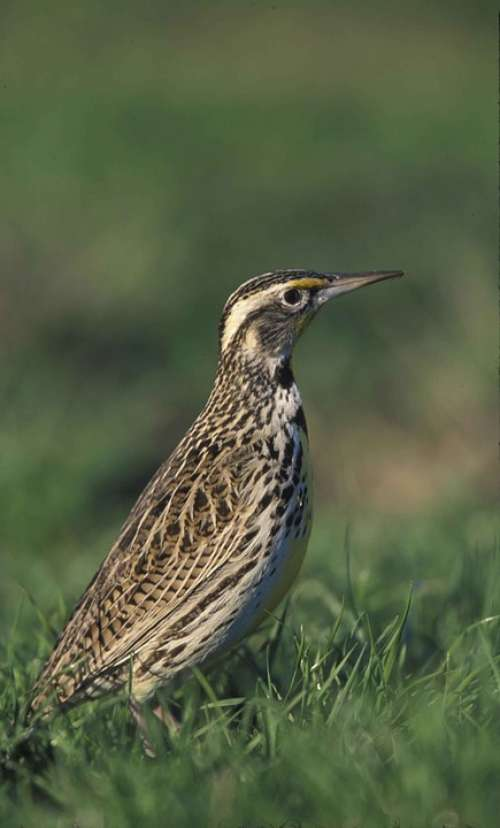Head Bird Meadowlark Western Birds Animals Fauna