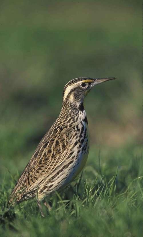 Head Bird Meadowlark Western Birds Animals Fauna