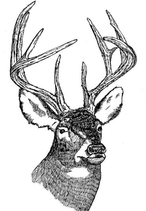 Head Deer Tailed White Illustration Line Art