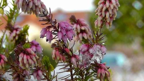 Heather Erika Blossom Bloom