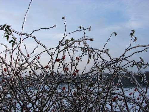 Hedge Rose Hip Ice Winter Frozen