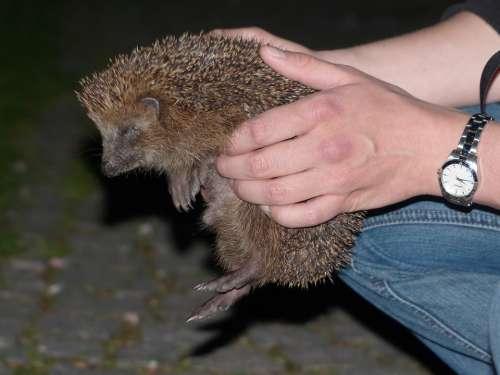 Hedgehog Animal Prickly Keep Hand Lift Hold Tight