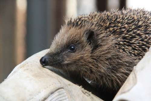 Hedgehog Animal Spur Pointed Young Hedgehog