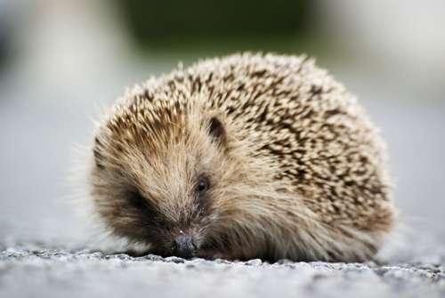 Hedgehog Animal Wild