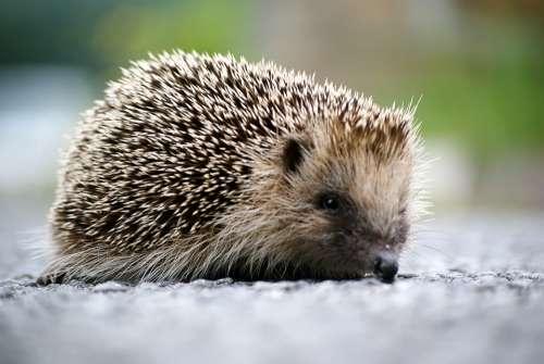Hedgehog Animal Wild Garden
