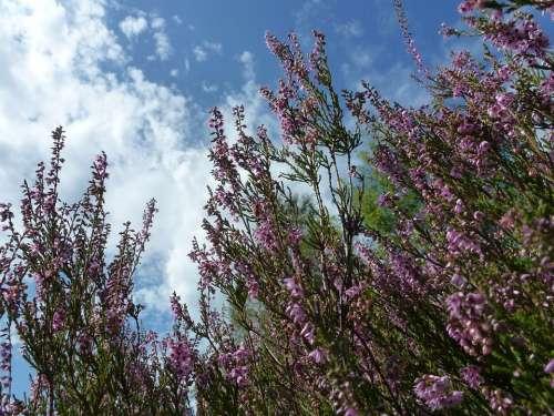 Heide Heather Blossom Bloom Purple Lüneburg Heath