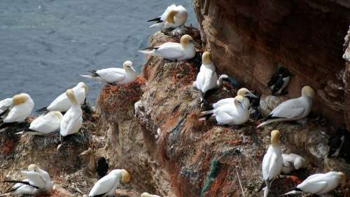 Helgoland Northern Gannet Nest Bird Hatching Breed