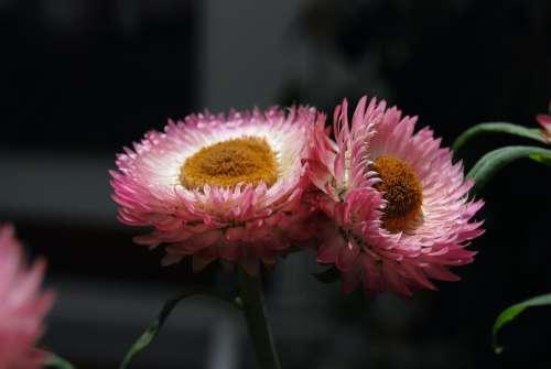 Helichrysum Strawflower Flowers Pink Plants