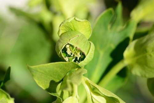 Hellebore Flower Helleborus Foetidus Ranunculaceae