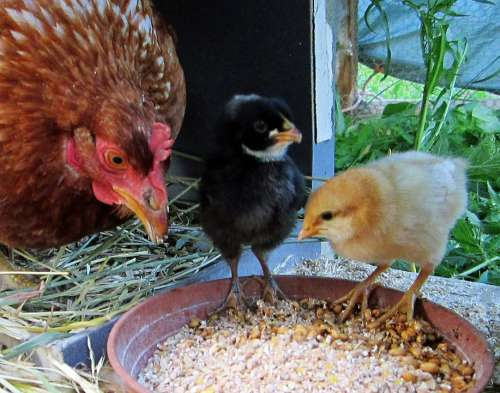Hen Chick Animals Chickens Poultry Chicks And Hens