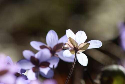 Hepatica Plant Flower Spring Spring Plant