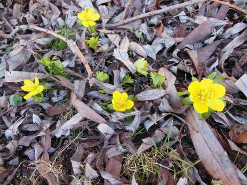 Herald Of Spring Flowers Eranthis Yellow Green