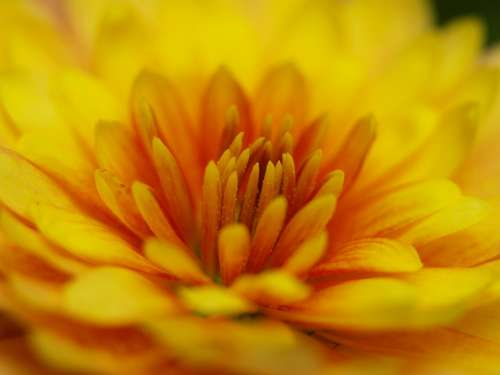 Herbstaster Yellow Blossom Bloom Close Up Orange