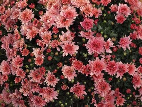 Herbstaster Pink Blossom Bloom Garden Asters