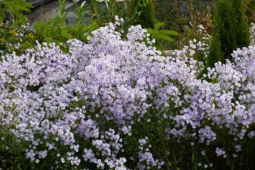 Herbstaster Flowers Bloom Purple Color