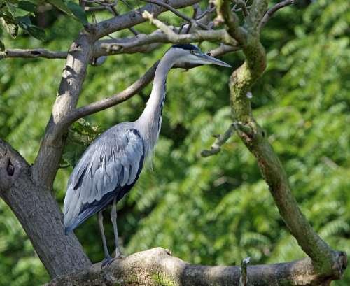 Heron Bird Animal Wildlife Tree Perched Resting