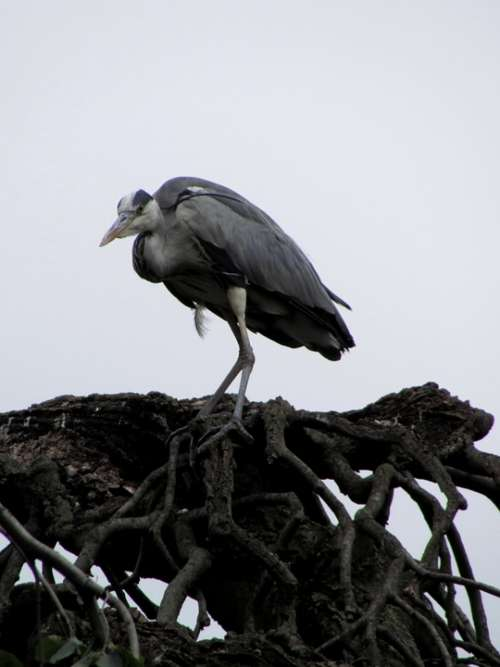 Heron Bird Animals Nature