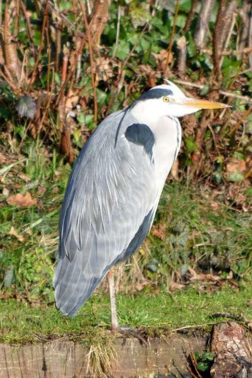 Heron Bird Nature