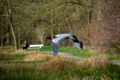 Heron Bird Nature Fly Wings