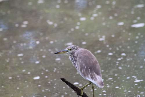 Heron Bird Pond Heron Wildlife Beak Water