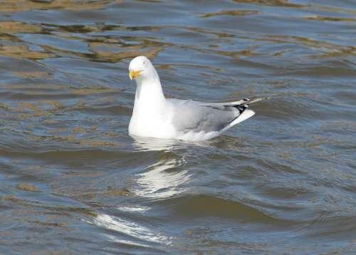 Herring Gull Gulls Larus Argentatus Laridae