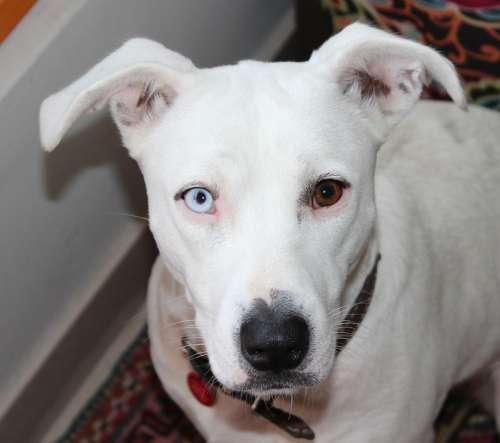 Heterochromia Dog White Pittbull Iris Heterochromia