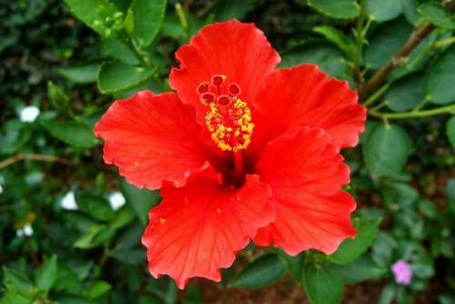 Hibiscus Red Flower Rosa Sinensis China Rose India