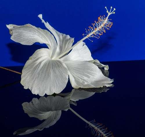 Hibiscus Blossom Bloom Flower White Marshmallow