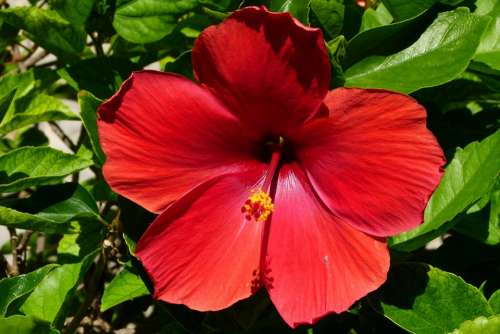 Hibiscus Blossom Bloom Red Close Up Mexico
