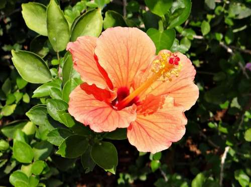 Hibiscus Peach Flower Rosa Sinensis China Rose